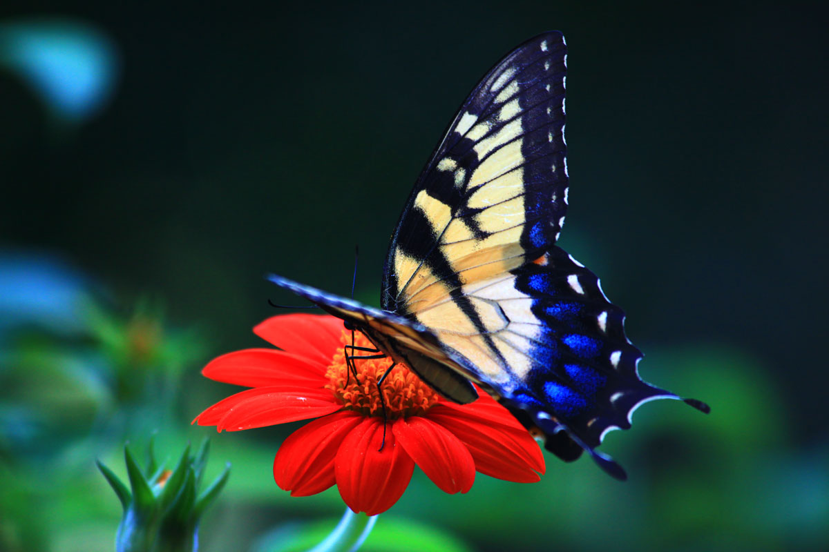 Butterflies Wallpapers Hd Download: Free Desktop Wallpaper